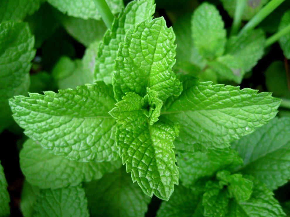Planta minune care te ajută să slăbești: O mirosi și îți scade senzația de foame